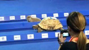 ¿Quién ganó? La fábula de la liebre y la tortuga se hizo realidad en una insólita carrera
