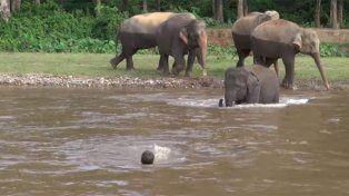 Un elefante se lanzó al agua para salvar a su cuidador