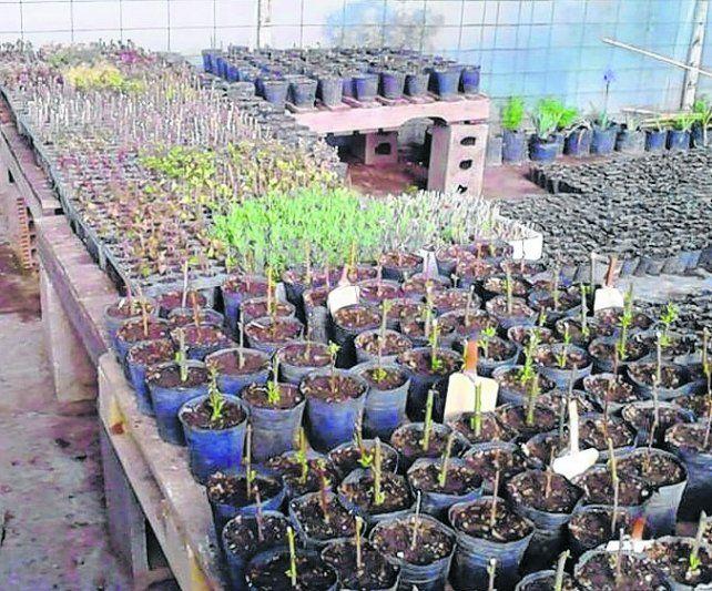 Apuesta fuerte. El vivero municipal quiere crecer en la producción.