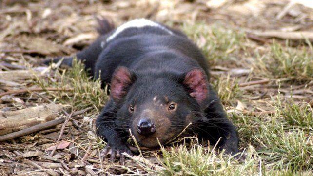Raro. El belicoso marsupial australiano devenido en aliado del hombre.