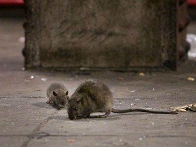 Ejemplar. Las ratas en el metro son muy comunes en la Gran Manzana.