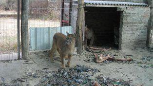 Pumas rescatados de un coto de caza en el norte de Santa Fe. La imagen es de 2008.