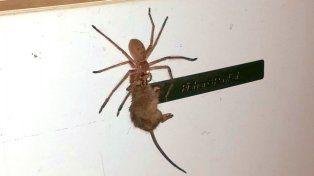 El impresionante video de una araña gigante que se come un ratón