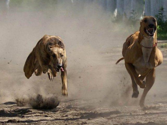 Maltrato. Los defensores de animales fustigan las carreras de perros.