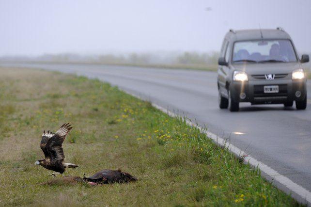 Matanza. Los animales atropellados y consumidos por aves carroñeras son una constante en cada crecida. No se previó el flujo de la fauna por el viaducto.