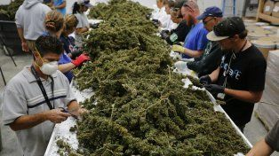 En Colorado, Estados Unidos, trabajadores separan las hojas con las que luego se prepara el aceite de cannabis que se utiliza en diversos tratamientos.