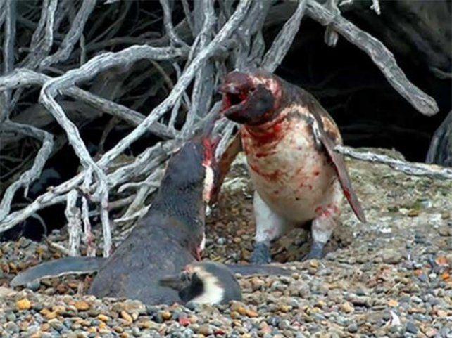 Una infidelidad, el motivo de una sangrienta pelea entre pingüinos que se viralizó