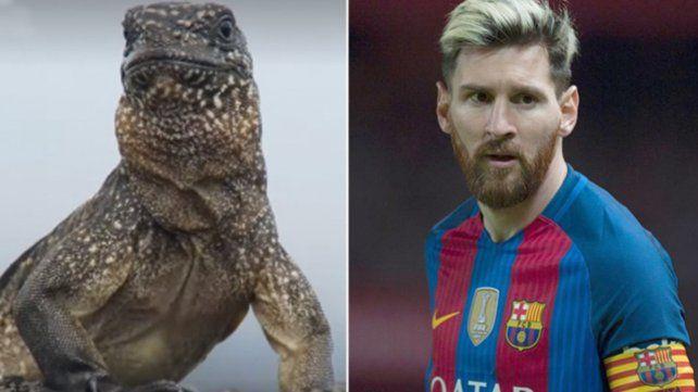 La iguana Messi, el nuevo fenómeno viral que sorprende con la misma habilidad del rosarino