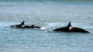 Raro. Los cetáceos pidieron auxilio a su manada con fuertes chillidos.