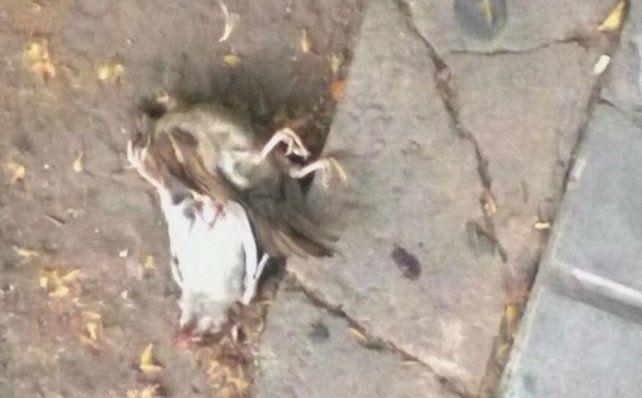 Palomas muertas fueron encontradas en la zona de Entre Ríos al 1700.Foto Twitter @dhfiori
