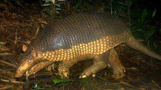 El tatú carreta está considerado especie en extinción en la provincia de Chaco.