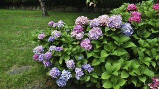 Hermosas. Antoniucci tiene vivero. Dice que las hortensias fueron llevadas a Mar del Plata entre 1930 y 1940.