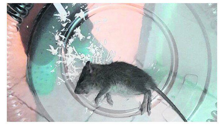 capturado. El personal mostró uno de los roedores.