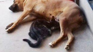 El instinto maternal de una perra con un gatito se volvió viral en las redes.