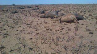 Desolación. Los campos de pastoreo fueron arrasados y muchos animales murieron asfixiados.