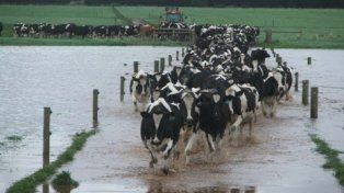 éxodo. Tamberos buscan reubicar las vacas en zonas secas para evitar tener que mandarlas al matadero.