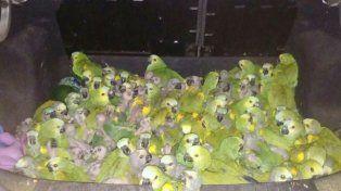 Las aves estaban en el baúl del auto. El chofer está acusado de tráfico ilegal de animales y depredación.