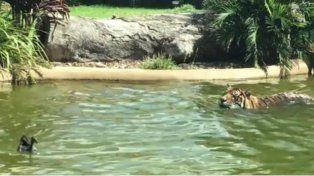 El video de un valiente pato que desafía a un tigre es viral en las redes sociales