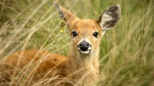 Campana: liberan a un ciervo de los pantanos
