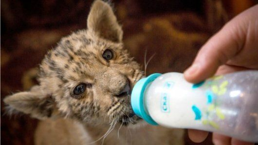 Zar, el asombroso bebé ligre que nació del cruce de una tigresa y un león