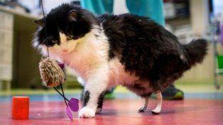 Implantaron patas biónicas a gato con una cirugía sin precedentes en Europa