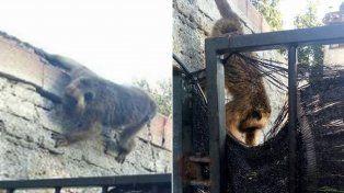 Dos imágenes del animal encadenado en el patio de una casa en zona oeste.