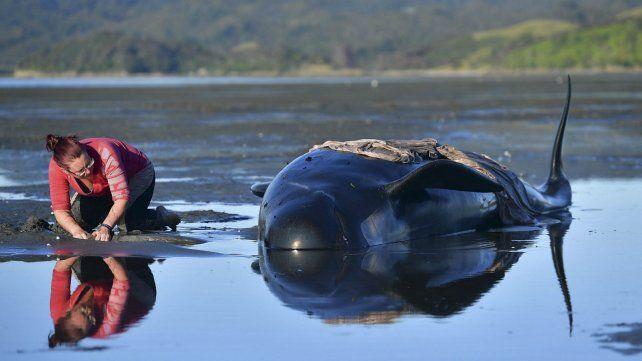 Los cetáceos aparecieron en la costa de Nueva Zelanda