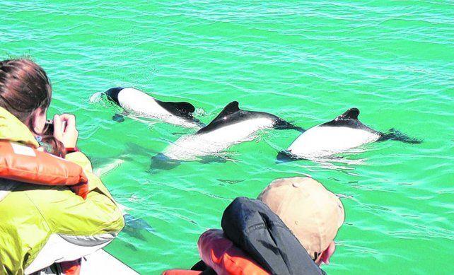 Graciosos bailarines. Esta especie de delfín es única en el mundo y sus ejemplares llegan a medir un metro y medio. Rara vez superan los 50 kilogramos de peso.