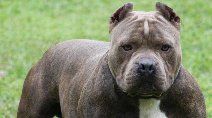 Uno can de esta raza atacó al pequeño.
