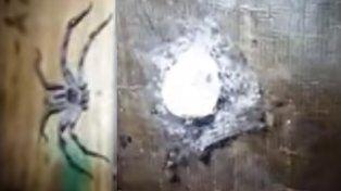 Descubren una araña de 20 centímetros en un aterrador nido lleno de crías