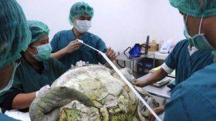 El triste final de la tortuga gigante a la que operaron para sacarle 915 monedas de la panza