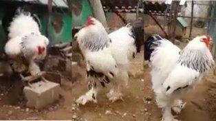 Este gallo gigante que causa estupor es real