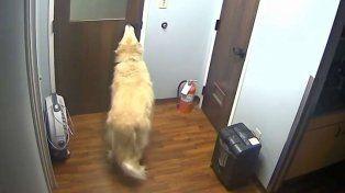 La habilidad de este perro para escapar de la veterinaria en busca de sus amos