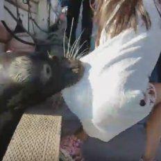 Un león marino arrastró al mar a un nena que estaba sentada en un muelle