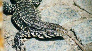 lagarto overo. Los animales fueron llevados a una reserva en Tigre.