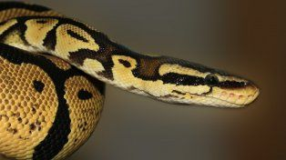La serpiente pitón podría pertenecer a un vecino de la zona.