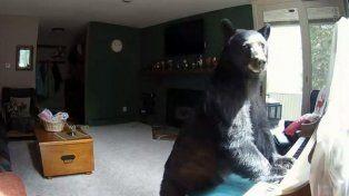 Un oso entró en una casa, vació la heladera y tuvo tiempo para tocar el piano