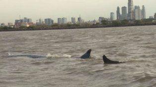 La ballena nunca pudo alcanzar un canal de navegación adecuado para