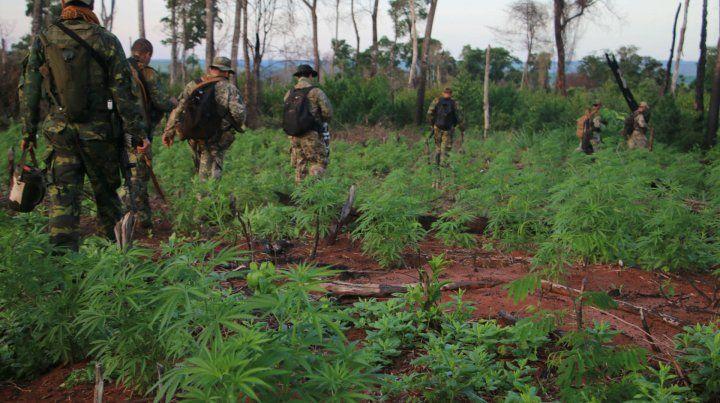 Una plantación de marihuana en el norte paraguayo. Hay entre 5.000 y 8.000 hectáreas cultivadas.