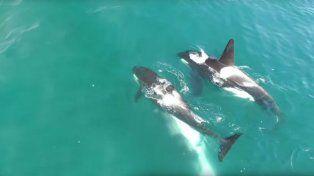 Este poco frecuente documento gráfico también registró los sonidos que emitieron las orcas durante la caza.