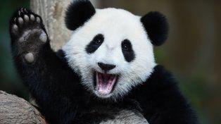 Malasia devuelve a China una osa panda porque le resulta muy caro mantenerla