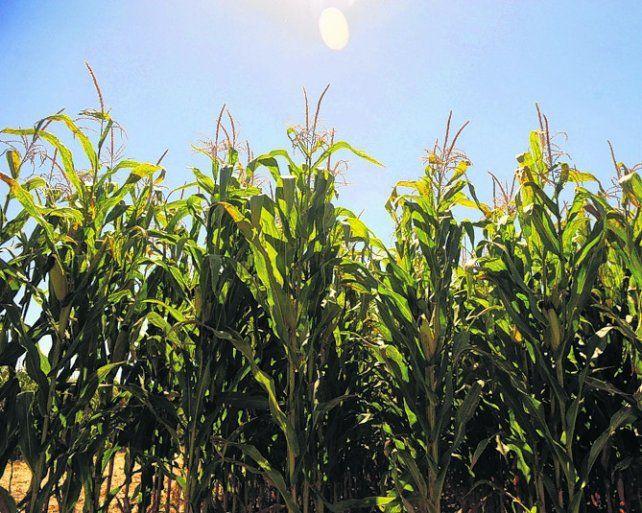 Maíz. La producción del cereal grueso sería de 38 millones de toneladas.