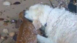 Un perro golden salvó de manera increíble a un bambi que se ahogaba en el río