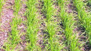 Cuidado. Según GEA, unas 30 mil hectáreas de trigo quedarán sin sembrar.