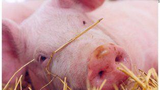 Gran parte de los criadores de cerdos del país
