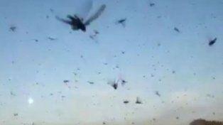 Las imágenes de la invasión de langostas en los campos chaqueños causa estupor.