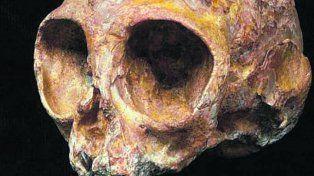 alesi. El cráneo es de una especie llamada Nyanzapithecus alesi.
