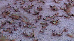 Invasión de langostas en la localidad cordobesa de Colonia Caroya