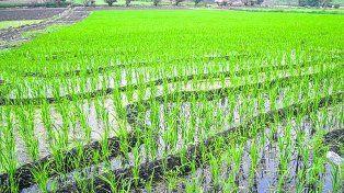 segunda vuelta. Tucumán pretende recuperar el arroz como una producción complementaria en el planteo agrícola.