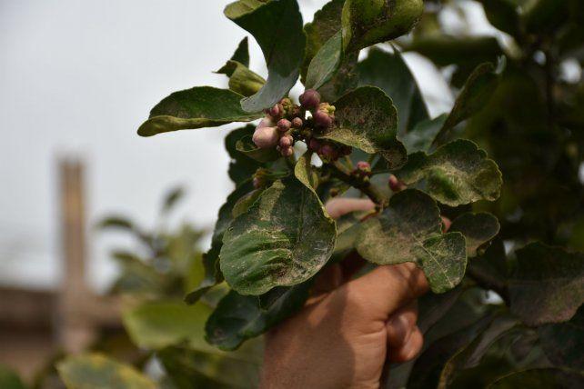 El polvillo se ha detectado en las plantas de Fray Luis Beltrán